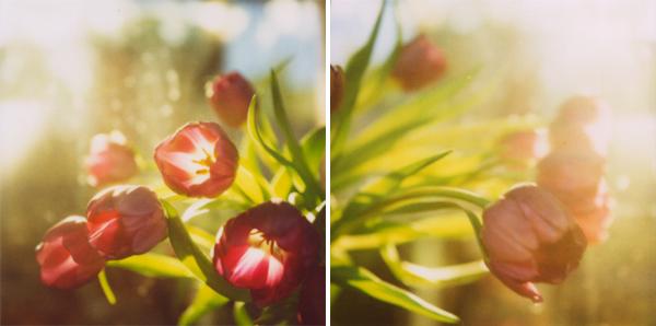tulip_set_2